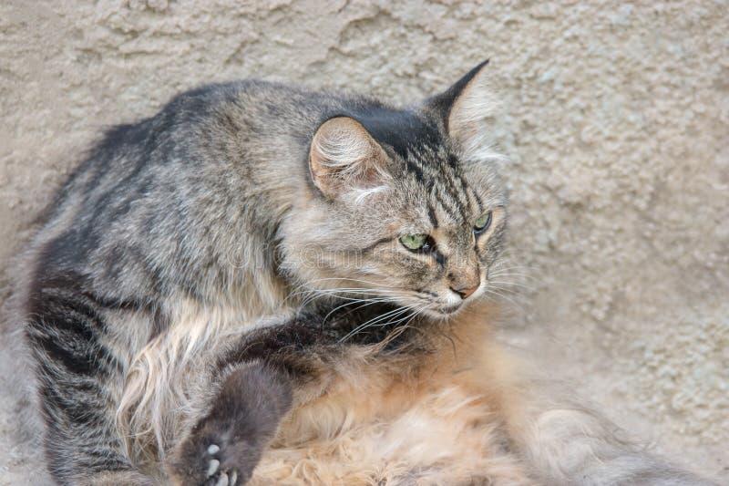 Katze, die Pelz leckt, um sich draußen zu säubern Pussykatzenpflegen stockfoto
