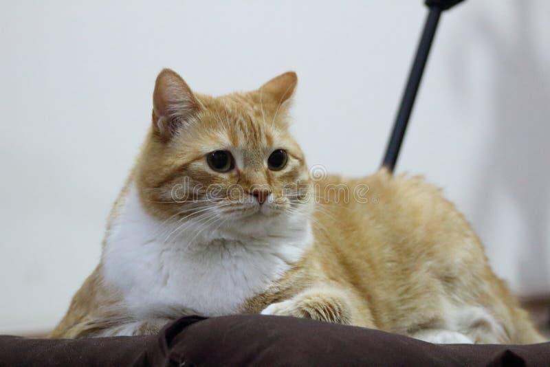 Katze, die zu Hause nach einem großen Tag von Jagd stillsteht stockbilder