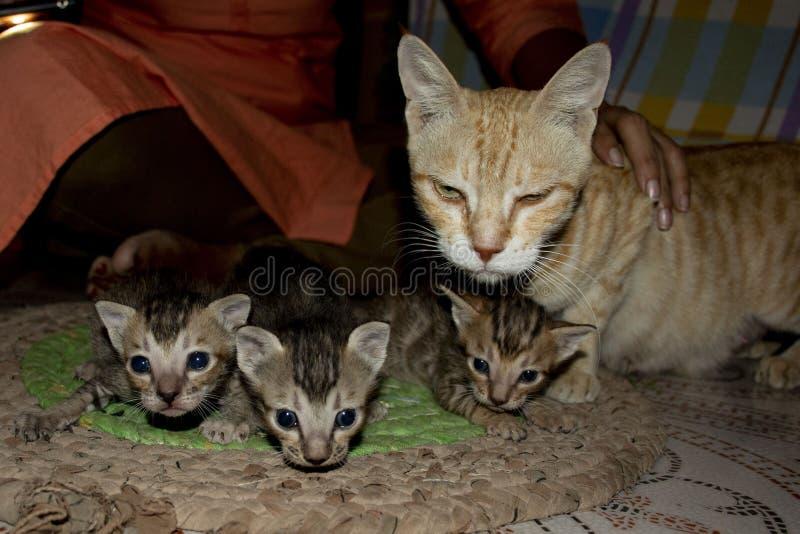 Katze ein goldenes Haustier von haus- 13 stockbild