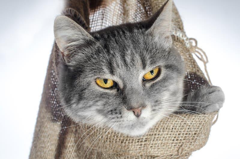 Katze in einer grauen Katzenfarbe des Stoßes einer getigerten Katze kriecht aus einer Segeltuchtasche heraus, die in einer mensch lizenzfreie stockbilder