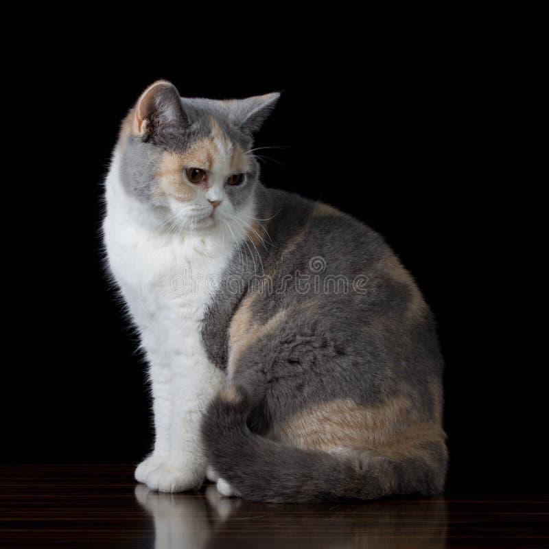Katze grauen Weiß Browns, die unten schaut stockfotografie