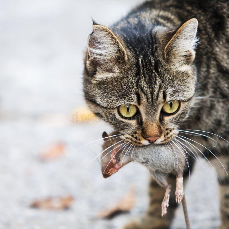 Katze hält die abgefangene Maus an stockbild