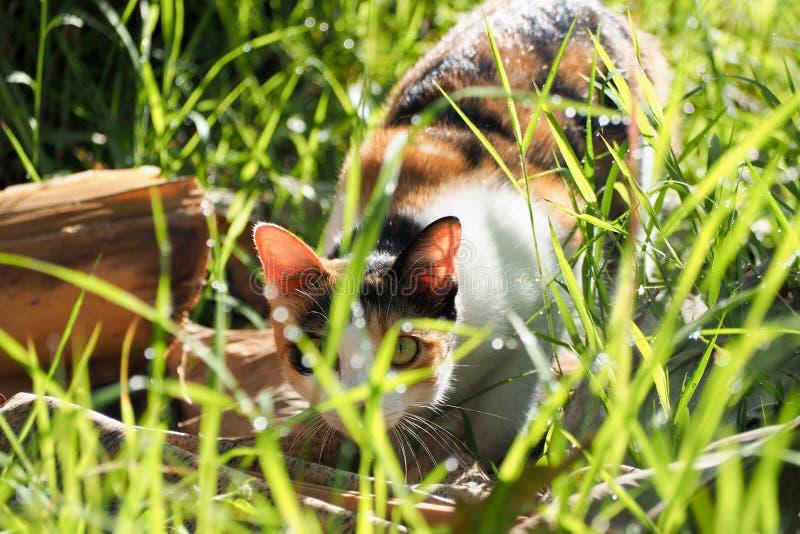 Katze jagt Morgensonnenaufgang und den Tau auf dem Gras stockfotografie