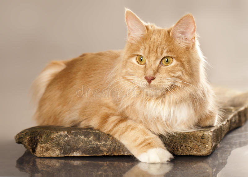 Katze kurilian Bobtail stockfotos