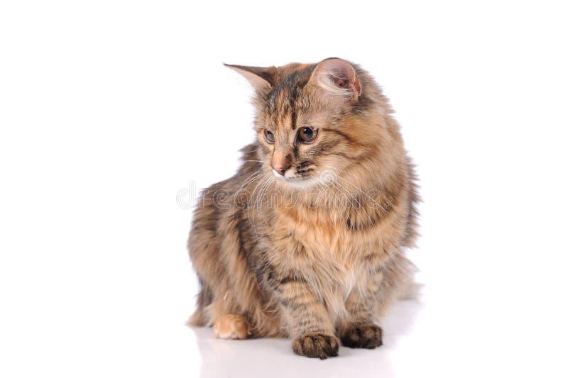 Katze lokalisiert über weißem Hintergrund stockbild