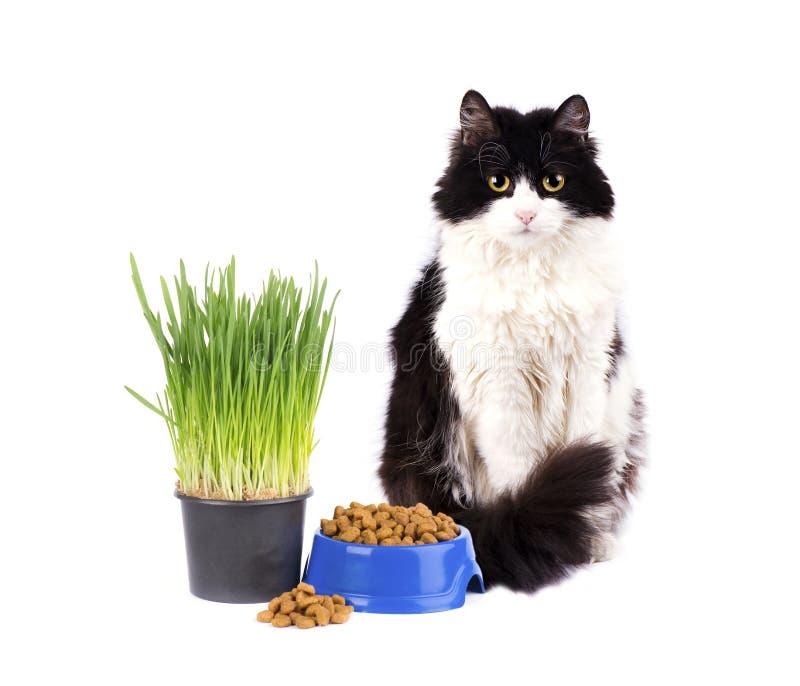 Katze mit blauer Schüssel trockenem Lebensmittel und grünem Gras im Topf lokalisiert auf weißem Hintergrund stockbild