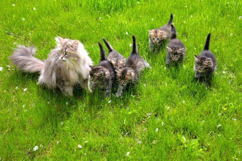 Katze mit Kätzchen auf einem grünen Rasen stockfotografie
