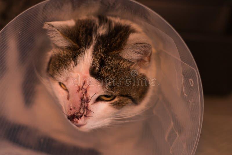 Katze mit Kragen nach dem Tumor, der Chirurgie entfernt lizenzfreie stockbilder