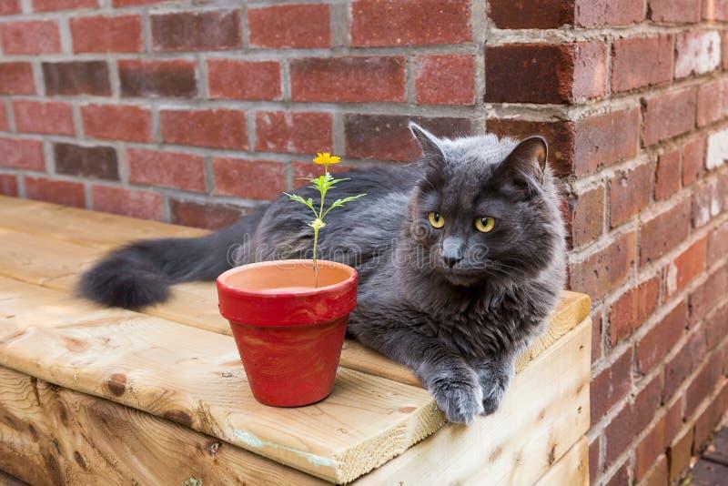 Katze mit Mäusegrauem Mantel und auffallenden gelben den Augen, die sich auf hölzerner außenbank hinlegen stockbild