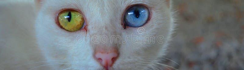 Katze mit unterschiedlicher Augenfarbe Ungerade gemusterte Katze lizenzfreie stockfotos