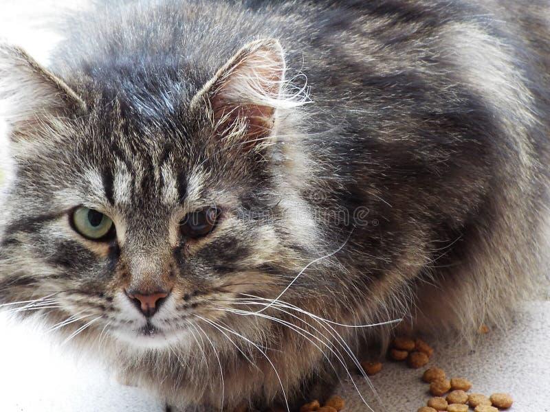 Katze mit verschiedenen Augen lizenzfreie stockfotos