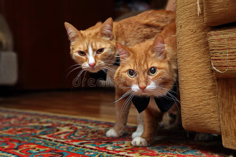 Katze mit zwei Rottönen lizenzfreie stockfotografie