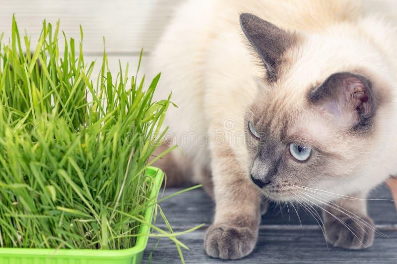 Katze nahe bei gekeimten grünen Sprösslingen von Hafern stockfotografie