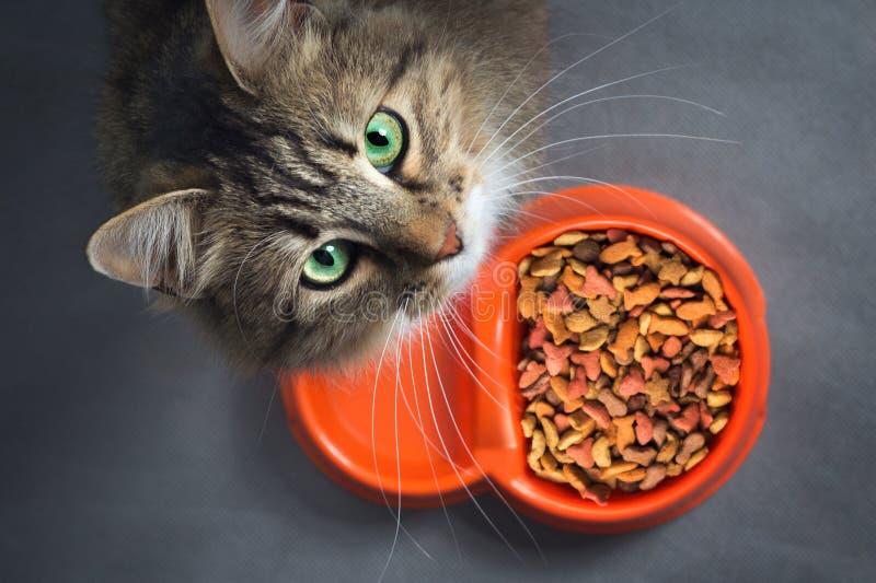 Katze nahe einer Schüssel mit dem Lebensmittel, das oben schaut lizenzfreie stockfotos