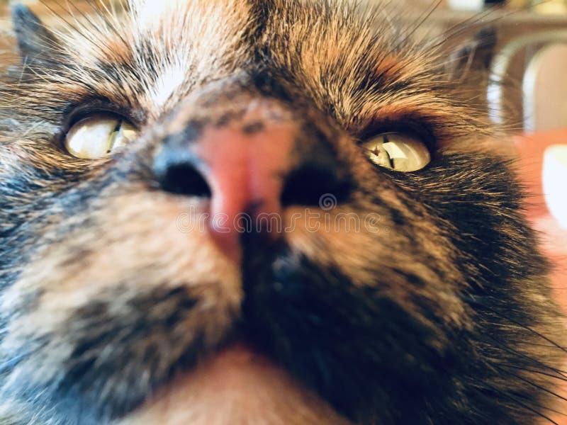 Katze ` s Nasennahaufnahme Katze, die oben schaut Portr?t stockfotografie