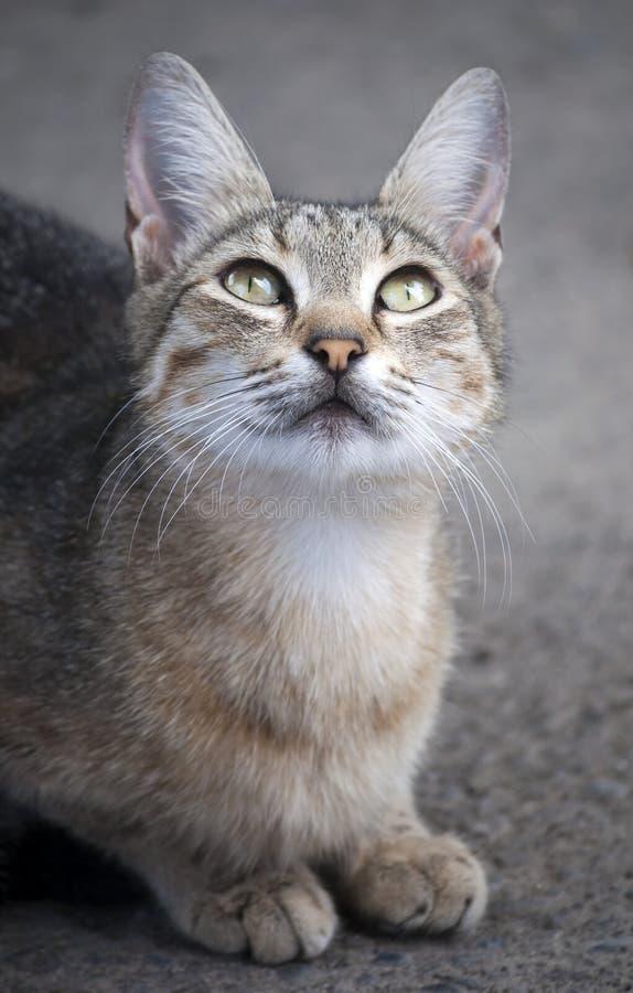 Katze schaut oben, sitzend auf der Pflasterung lizenzfreies stockbild