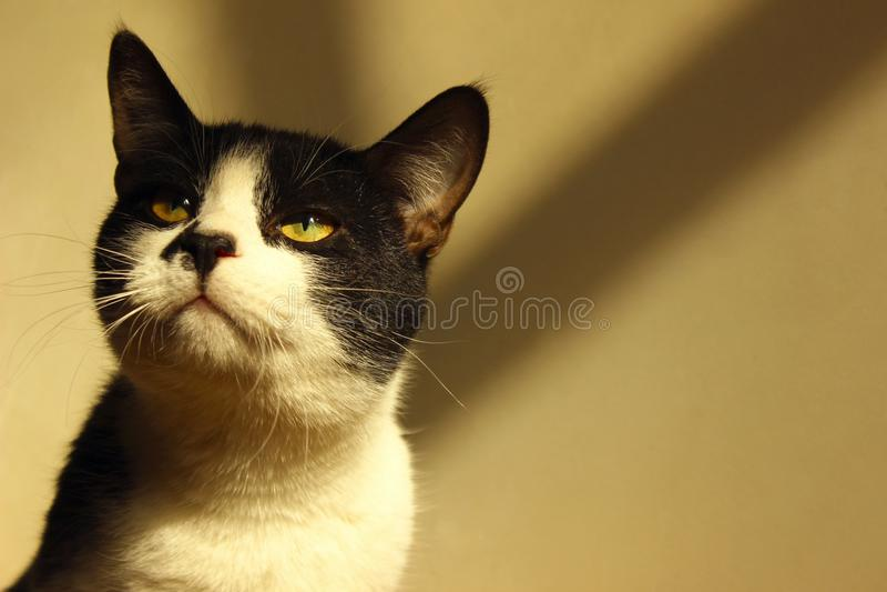 Katze Schwarze Katze Geernteter Schuss einer Smokings-Katze lizenzfreies stockfoto