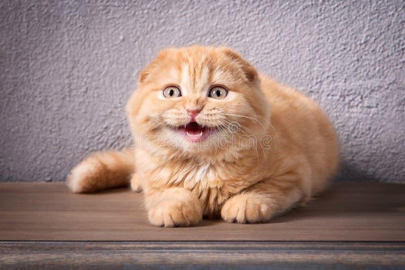 Katze Scottish falten Kätzchen auf Holztisch und strukturiertem backgroun stockfoto