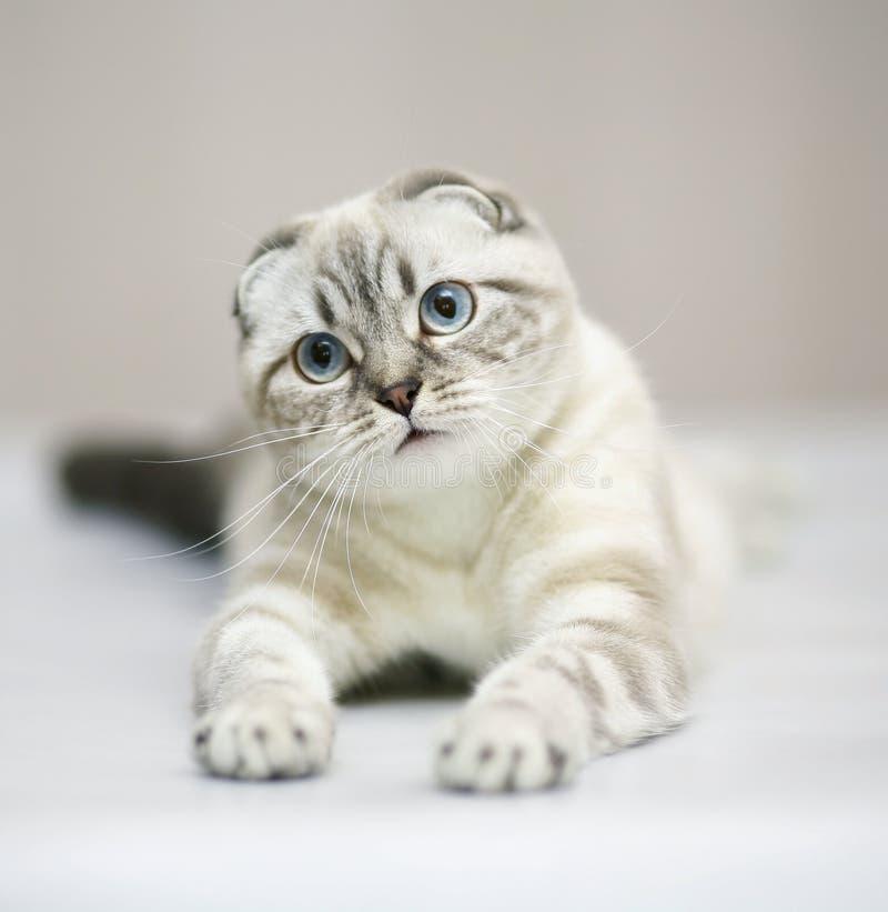 Katze. Scottishfalte. stockbild