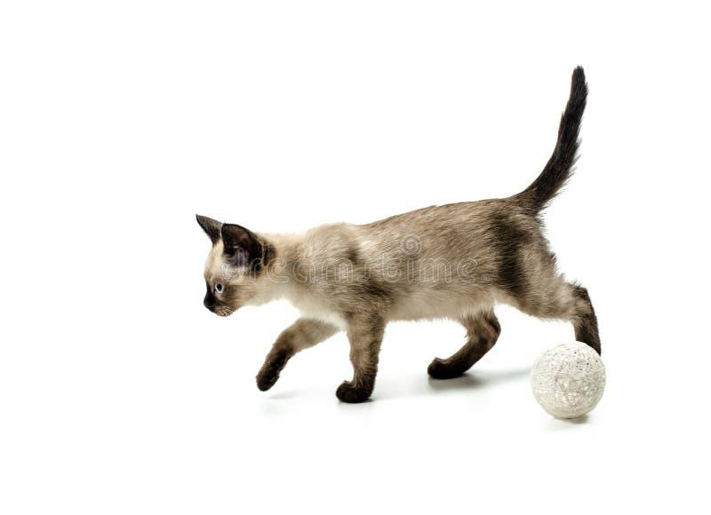 Katze sianese, lokalisiert auf Weiß lizenzfreie stockbilder