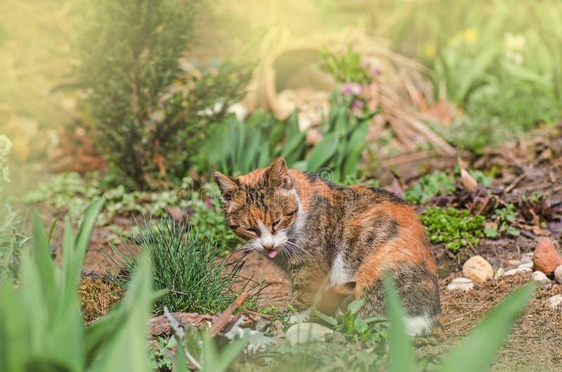 Katze sitzt im Garten mit der Zunge, die heraus haftet Kalikokatzenzunge, die seine Nase leckt lizenzfreies stockbild