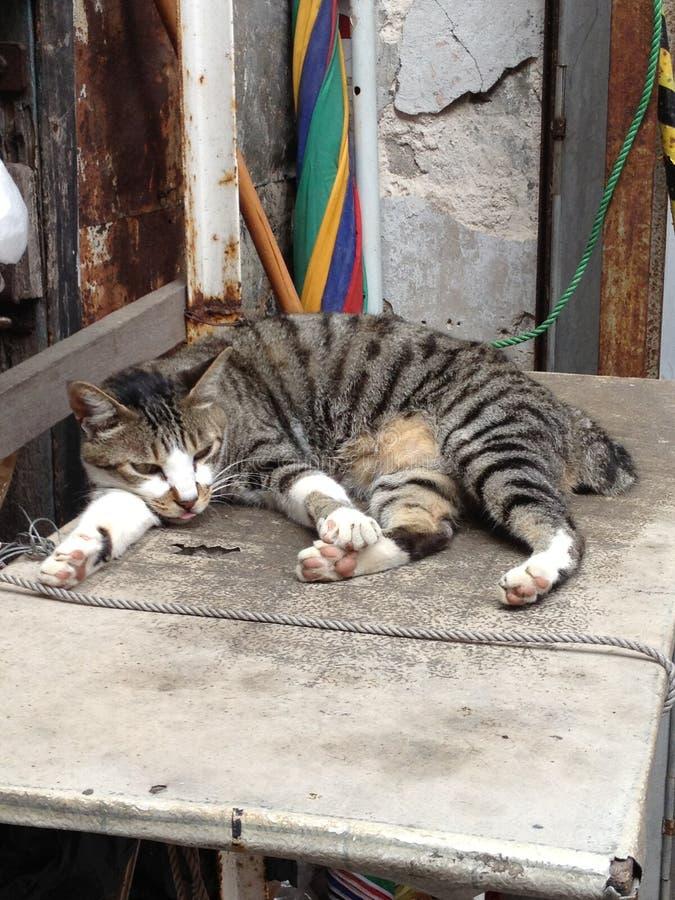 Katze Tai O lizenzfreie stockfotos