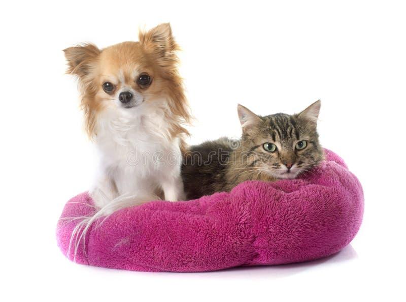 Katze und Chihuahua der getigerten Katze lizenzfreie stockfotos