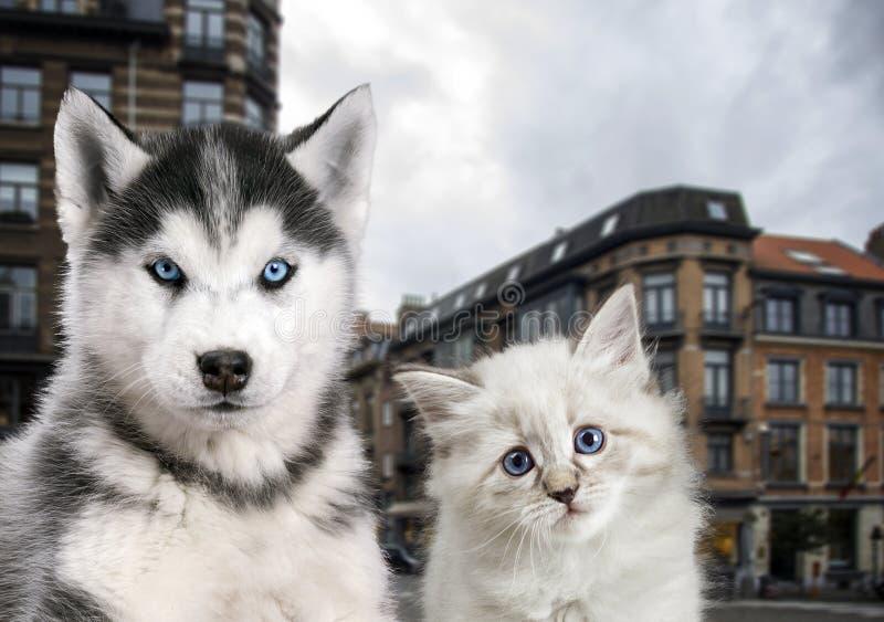 Download Katze Und Hund Zusammen, Neva Maskerade, Sibirischer Husky Schaut Gerade Mit Stadt Auf Dem Hintergrund Stockfoto - Bild von nett, freundschaft: 90226144