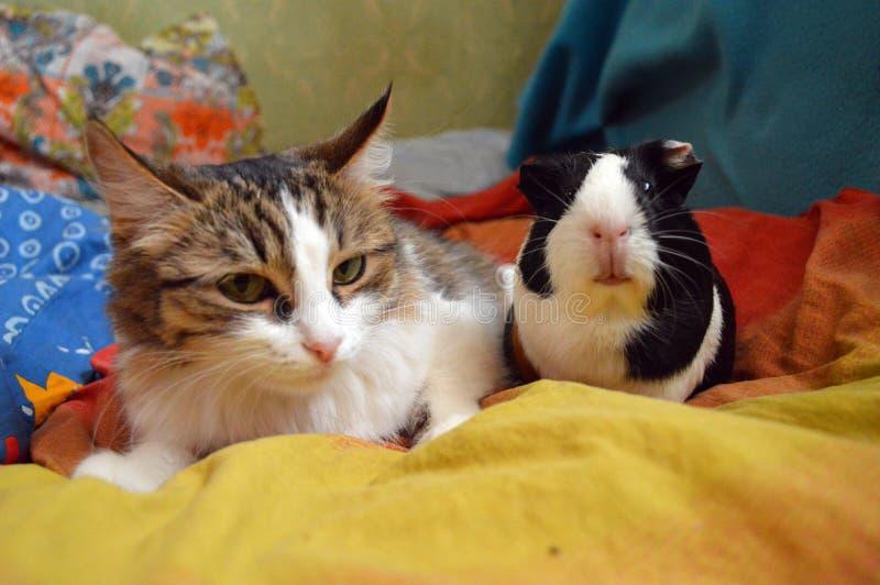 Katze und Meerschweinchen in einem hellen Bett lizenzfreie stockfotografie