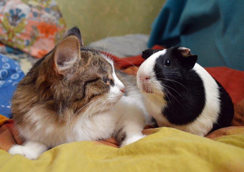 Katze und Meerschweinchen in einem hellen Bett stockfotos