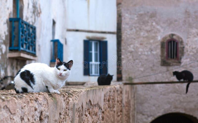 Katzen, die auf der Festungswand in Medina von Essaouira, Marokko stillstehen lizenzfreies stockbild