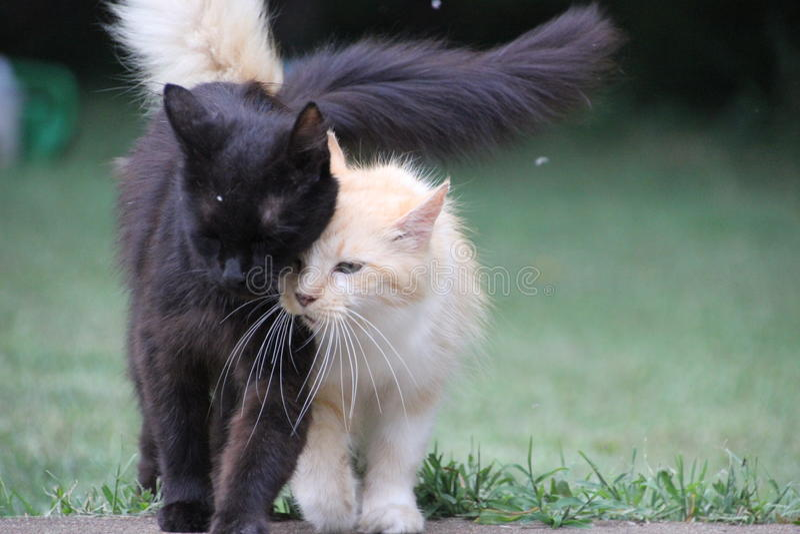 Katzen, die zusammen Schwarzweiss-Gold gehen lizenzfreie stockfotografie