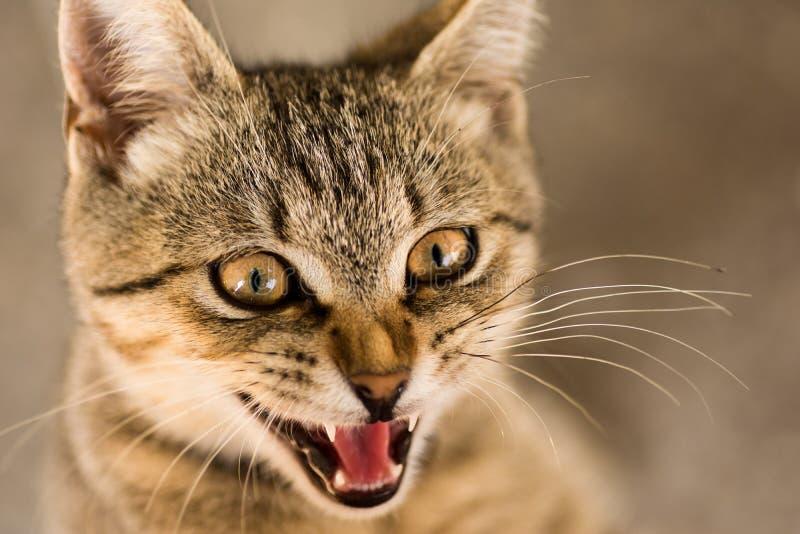 Katzen-Tierporträt der getigerten Katze lizenzfreies stockbild