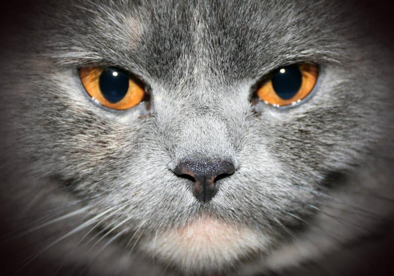 Katzenahaufnahmeportrait stockfotos