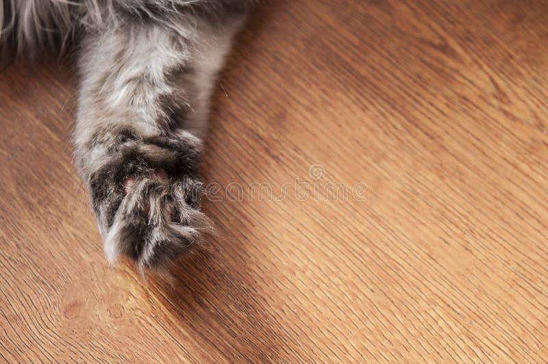Katzenartige flaumige Tatzennahaufnahme auf einem Bretterboden stockfotos