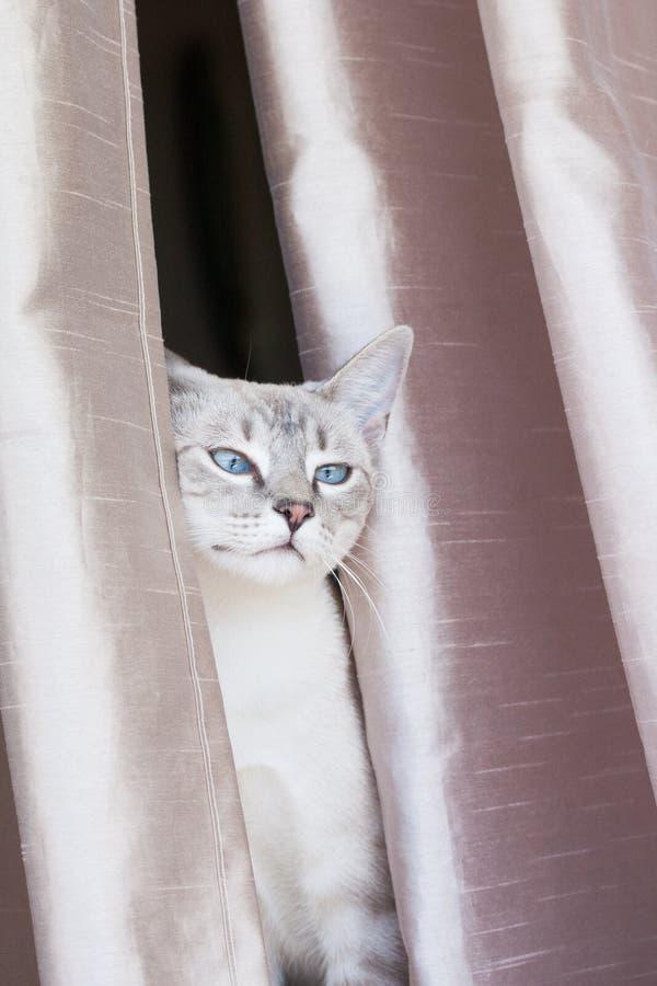 Katzenartiger Kopf zusammengedrückt zwischen Vorhängen lizenzfreies stockbild