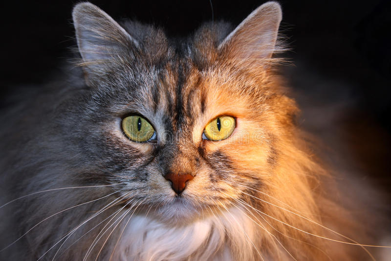 Katzengesicht lizenzfreie stockbilder