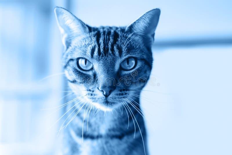 Katzenkopfgesicht mit Streifen und Whiskers, süße, bezaubernde Tischdecke Toniert mit Trend 2020 Blau Dunkelklassische Farbtöne stockbilder