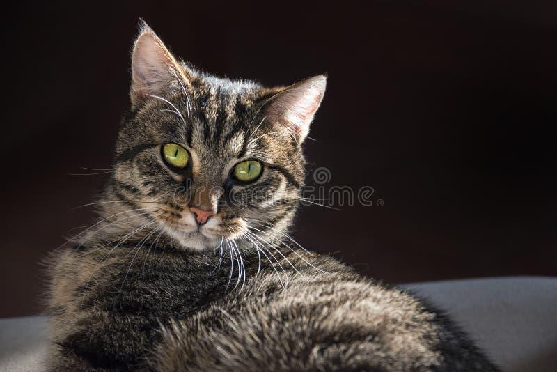 Katzenporträt der getigerten Katze, welches zu Hause die Kamera, auf der Couch betrachtet, stockbild