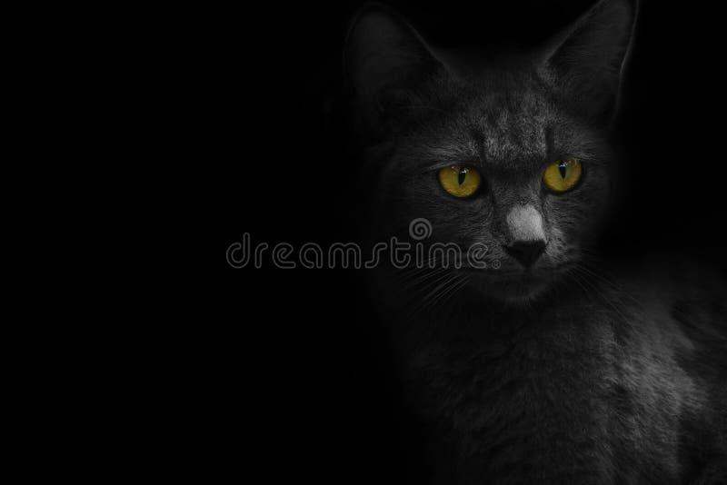 Katzenporträt mit schwarzem Hintergrund lizenzfreie stockfotografie