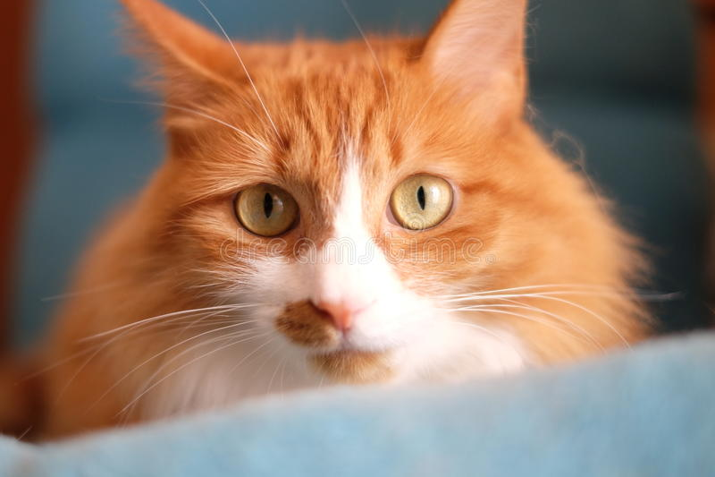 Katzenuhr die Linse mit Curiousness und Wachsamkeit lizenzfreie stockfotografie