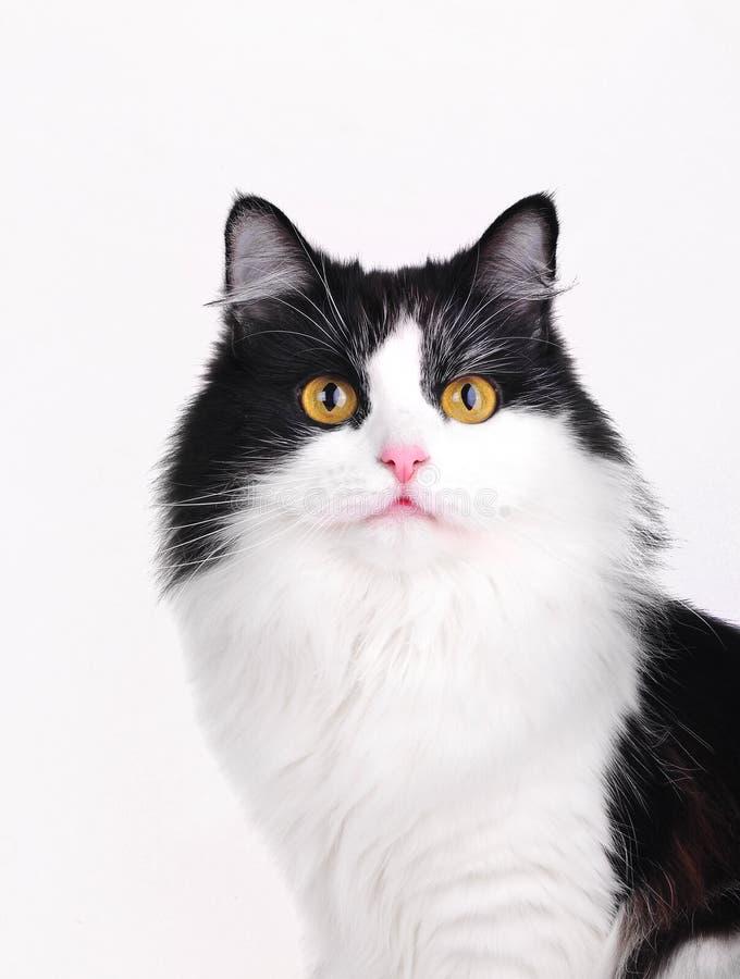 Katzestudioschuß stockfotos