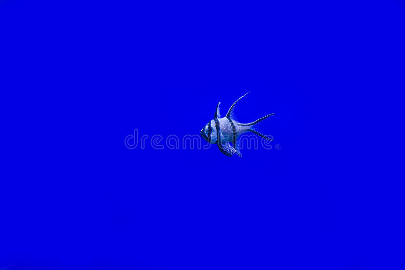 Kauderni de Pterapogon photo stock