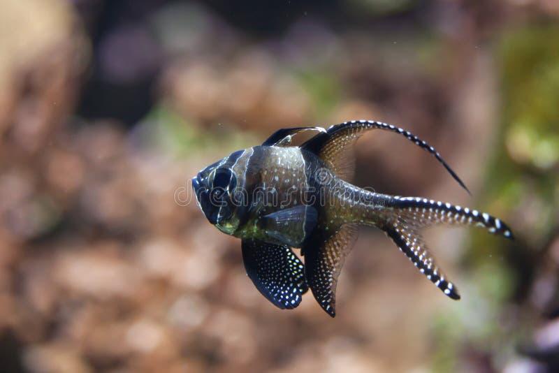 Download Kauderni Pterapogon Cardinalfish Banggai Стоковое Фото - изображение насчитывающей естественно, swim: 81810446