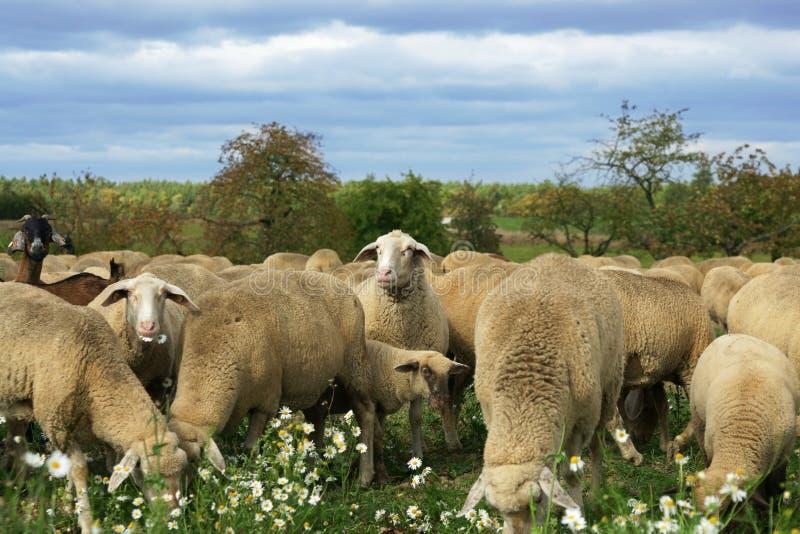 Kauen der Schafe stockbild