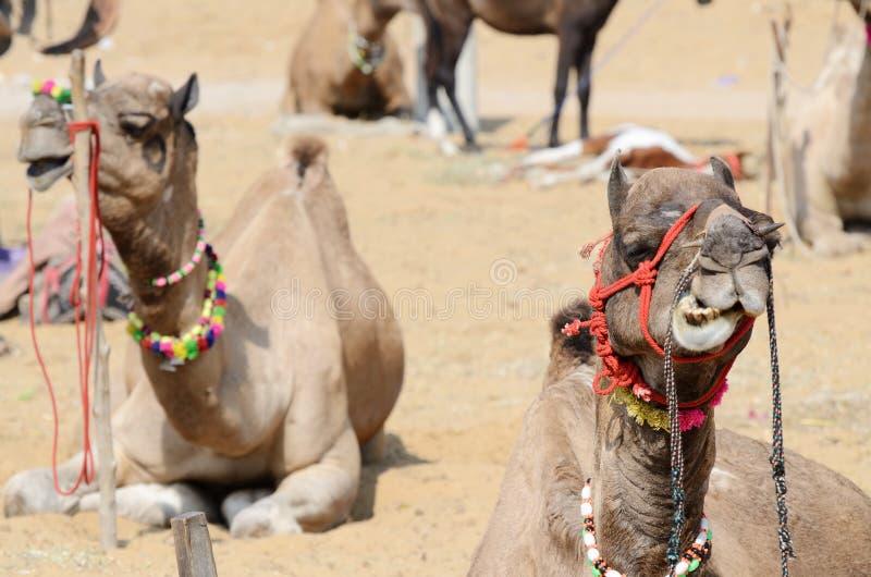 Kauen des Dromedarkamels im nomadischen Lager, Indien stockfotos