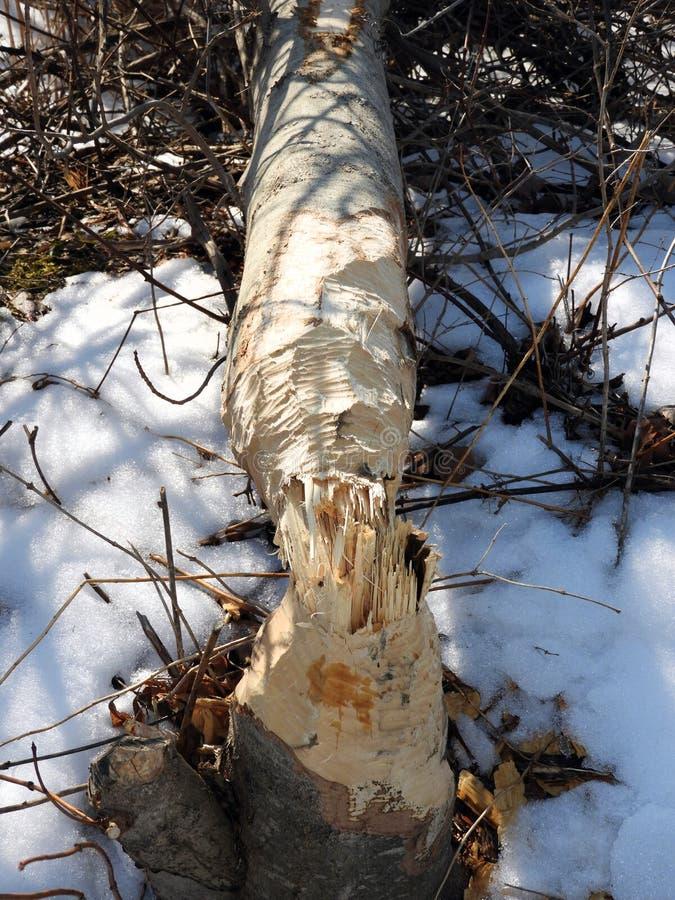Kauen markiert durch Biber auf gefallenem Baum lizenzfreie stockbilder