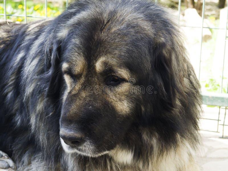 Kaukasische herdershond royalty-vrije stock afbeeldingen