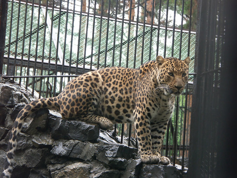Kaukasische luipaard stock fotografie