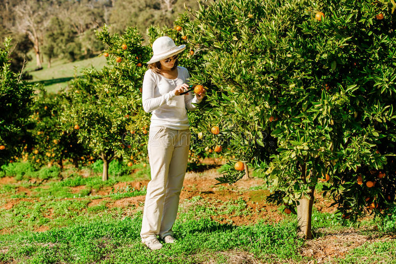 Kaukasische meisje het oogsten mandarins en sinaasappelen binnen stock afbeeldingen